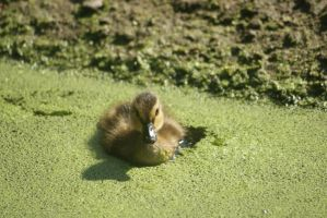 Duckling on duckweed II by saiquarx