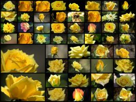 50 Yellow Roses by OrphieG