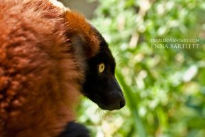 Red Ruffed Lemur by ERB20