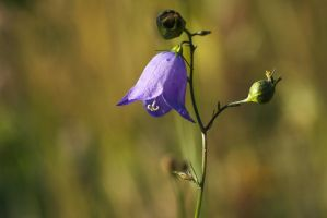 Harebell by perost