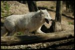 Wolf on a walk by JWKS-photomancy