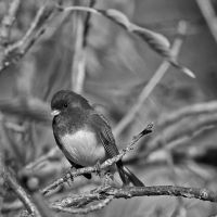 junco in black and white by clippercarrillo
