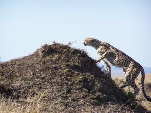 Cheetah Stock 6 by Aqua-Stock