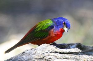 male painted bunting by nolra