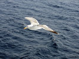 Flight of the Seagull by Sc1r0n