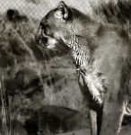 Mountain Lion by yrwolrj