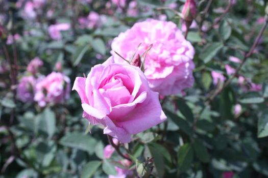 Light pink rose by jachappers-x