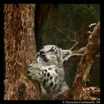 Baby Snow Leopard: In Tree III by TVD-Photography