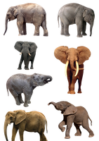 Elephants PNG 1 by Anavrin2010