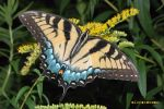 Eastern Tiger Swallowtail by microcosmos