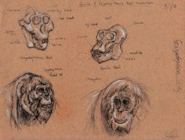 Gigantopithecus Head Study by FutureAesthetic