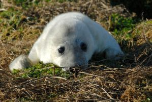 Grey seal pup by Shadow-and-Flame-86