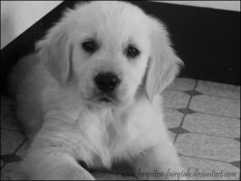 Golden Retriever puppy 2 by Forgotten-Fairytale