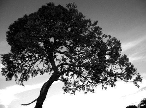 Bonsai in Black and White by meredith-xxi