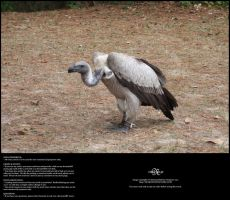 Vulture 01 by Neyjour