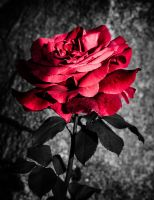 Red Rose by Nathan-Ruby