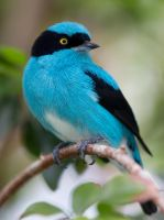 Black-faced Dacnis by deseonocturno