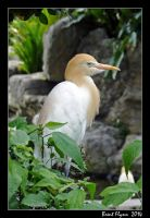 Resting Heron by DarthIndy