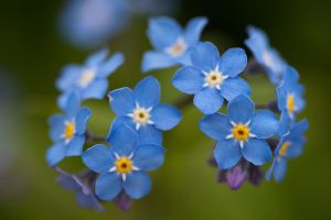 Forget-me-Nots by NightHalo