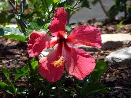 Hibiscus in Pink by BlackFlameVampire
