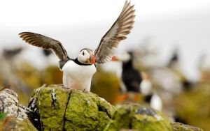 Rough Puffin Landing by Shadow-and-Flame-86