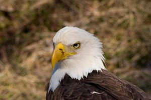 Bald Eagle by brandinisays