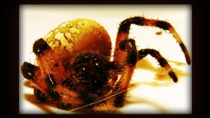 flame spider by Wartydeathcap