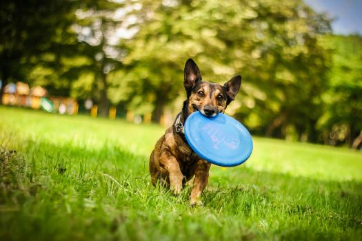 Dogfrisbee by Psotkens