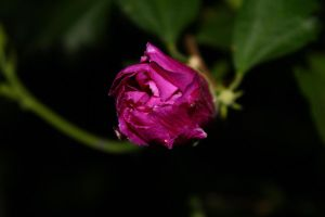 Hibiscus bud by NightAccio