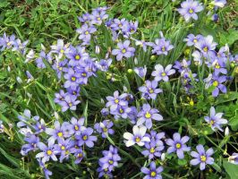 Blue-eyed Grass III by Neriah-stock