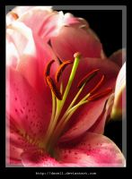 Lily I by Danell