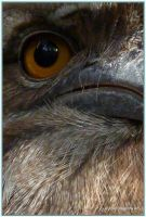 Tawny Frog Mouth by DesignKReations