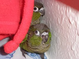 Green Cheek Conure Babies by LexerJ