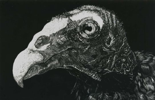 Turkey Vulture Scratchboard by your-friendly-nukes