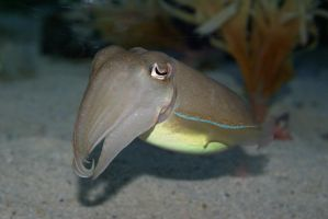 Cuttlefish 001 by MonsterBrand-stock
