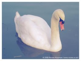 Lonely Swan by rosanakooymans