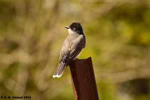Eastern Kingbird by terceleto