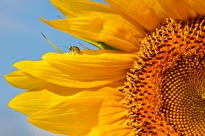 Sunflower with companion by thankyoujames