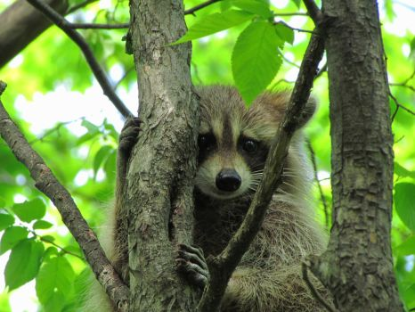 Raccoon in Tree by Shaleco
