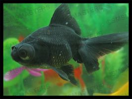 Black Moor Goldfish by smsmasters