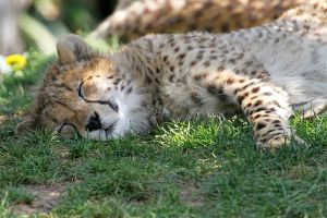 Cheetah cub snooze by SnowPoring