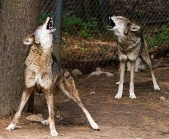 Red Wolf Stock 67: Howling by HOTNStock