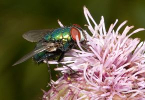 Just a Fly by mant01
