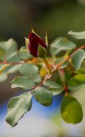 Red Rose Bud by panda69680102