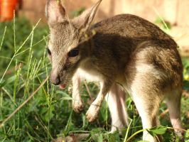 A wallaby like Billy. by hollybambam
