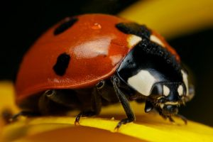 Ladybug on Yellow V by dalantech