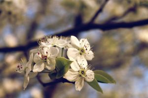 Pear tree blossoms by Bombergranatepop