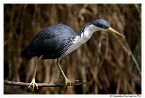 Pied Heron by TVD-Photography