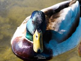 Duck (male) by siinlaw