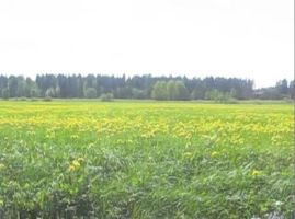 A field of dandelions by Lightningball